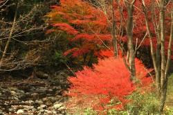 風布川沿いの紅葉