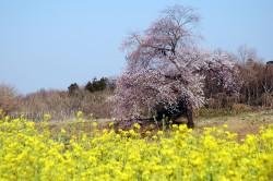 丘の上の一本桜